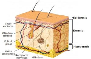 La estructura de la piel